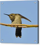 Hummingbird Looking Right Acrylic Print