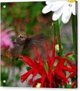 Hummingbird Mid Flight Acrylic Print