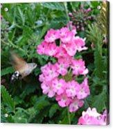 Hummingbird Moth On Pink Verbena Acrylic Print