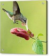 Hummingbird Nose Dive Acrylic Print
