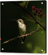 Hummingbird On Blackberry Bush Acrylic Print