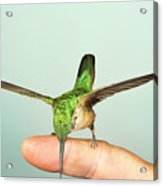 Hummingbird On My Finger Acrylic Print