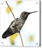 Hummingbird On Tightrope Acrylic Print