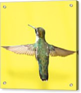 Hummingbird On Yellow 4 Acrylic Print