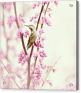 Hummingbird Perched Among Pink Blossoms Acrylic Print