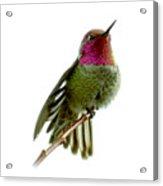 Hummingbird Portrait T1 Acrylic Print