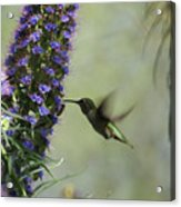 Hummingbird Sharing Acrylic Print