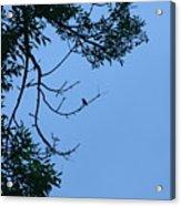 Hummingbird Silhouette Acrylic Print
