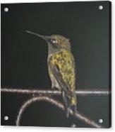 Hummingbird Sitting In The Rain Acrylic Print