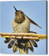 Hummingbird Spreading Wings Acrylic Print