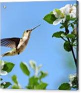 Hummingbird Springtime Acrylic Print