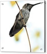 Hummingbird Tongue Acrylic Print