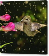 Hummingbird Visits Flowers In Raining Day Acrylic Print