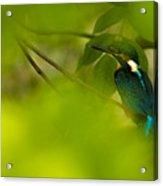 Hummingbird Wants To Hide Acrylic Print