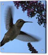 Hummingbird Wings And Butterfly Bush Acrylic Print