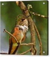 Hummingbird With An Itch Acrylic Print