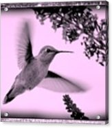 Hummingbird With Old-fashioned Frame 2  Acrylic Print