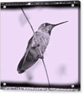 Hummingbird With Old-fashioned Frame 4 Acrylic Print