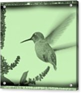Hummingbird With Old-fashioned Frame 5 Acrylic Print