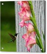 Hummingbird1 Acrylic Print