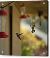 Hummingbirds In Flight Acrylic Print