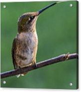 Hummingbird's Quick Tongue Acrylic Print