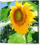 Humongous Sunflower Acrylic Print