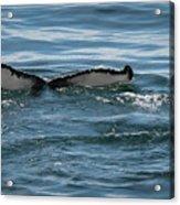 Humpback Tail Fins Acrylic Print