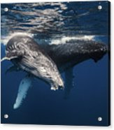 Humpback Whale And Calf Acrylic Print