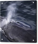 Humpback Whale Blowing Acrylic Print