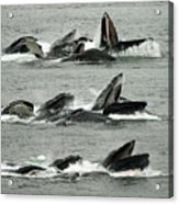 Humpback Whale Bubble-net Feeding Sequence X5 V2 Acrylic Print
