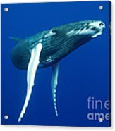 Humpback Whale Calf Acrylic Print