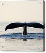 Humpback Whale Fluke Acrylic Print by M Sweet