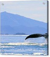 Humpback Whale Flukes Acrylic Print