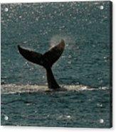 Humpback Whale Lifts Its Fluke. I Acrylic Print