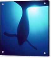 Humpback Whale Megaptera Novaeangliae Acrylic Print by Flip Nicklin