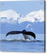 Humpback Whale Megaptera Novaeangliae Acrylic Print by Konrad Wothe