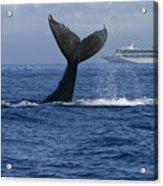 Humpback Whale Tail Lobbing Near Cruise Acrylic Print by Flip Nicklin