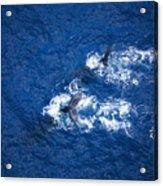 Humpback Whales Aerial Acrylic Print
