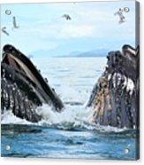 Humpback Whales In Juneau, Alaska Acrylic Print