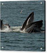 Humpback Whales Megaptera Novaeangliae Acrylic Print