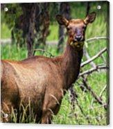 Hungry Elk Acrylic Print