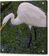 Hungry Great Egret Acrylic Print