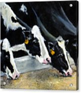 Hungry Holsteins Acrylic Print