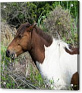 Hungry Horse - Assateague Island - Maryland Acrylic Print