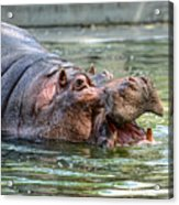 Hungry Hungry Hippo Acrylic Print