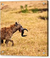 Hungry Hyena Acrylic Print