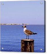 Hungry Sea Gull Acrylic Print