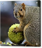 Hungry Squirrel 1 Acrylic Print