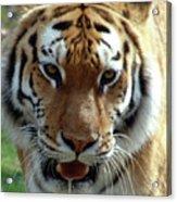 Hungry Tiger Acrylic Print